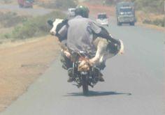 Llevare a mi vaca a rodar...