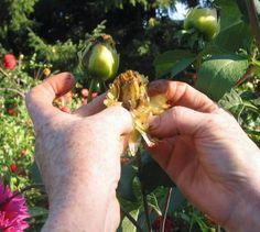 Harvesting Dahlia seeds Portland Dahlia Society