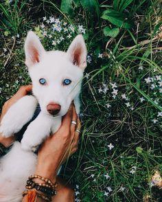 390 Ideas De The Husky Pack Perros Huskies Siberianos Mascotas