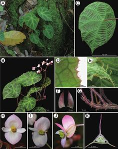 Two new species of Begonia (sect. Coelocentrum, Begoniaceae) from limestone areas in Guangxi, China: B. arachnoidea and B. subcoriacea (PDF Download Available)