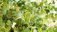 Řeřicha setá (Lepidium sativum) Foto: