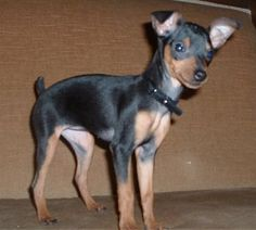 piper the min pin, but this looks like my dog, Harley.