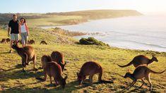 100 Ideas De Canguros Canguros Animales Marsupiales
