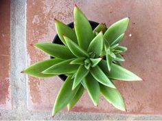 Succulent Plant. Echeveria Agavoides. by SucculentBeauties on Etsy