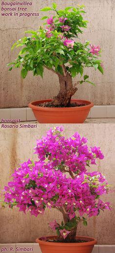 Bougainvillea bonsai tree. Work in progress. By Rosario F. Simbari. #rosariosimbari #bonsai #bougainvillea