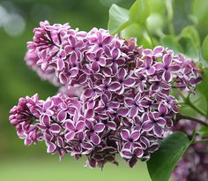 Lilac 'Sensation' has beautiful white edged flowers.  It is best to have different varieties so they bloom at slightly different times and to have more interest in the garden.