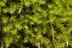 Campylium chrysophyllum