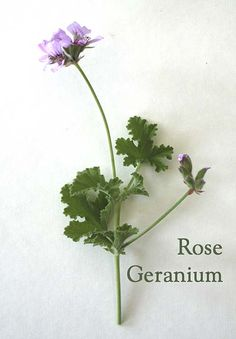ROSE GERANIUM is a mood-enhancing oil with a musky rose scent that can leave you feeling balanced & calm. Rose Geranium essential oil is produced by extracting oil from the leaves & stalks of Pelargonium. It is anti-bacterial, anti-fungal, antiseptic & anti-inflammatory.
