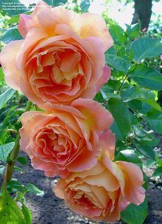 'ALPINE SUNSET' Hybrid Tea Rose