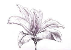 Student Ed Rivis doing some superb hatching work in this Lily drawing. Improve Your Ink Drawing with Hatching Techniques http://skl.sh/2aHIvmN