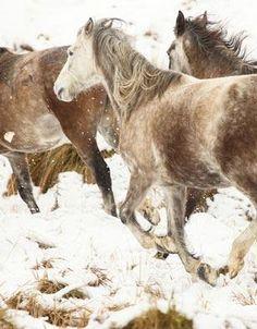 Wild Kaimanawa muster (Kelly Wilson) Wilson Sisters, Snow Days, Wild Mustangs, Cute Horses, Horse Photography, Wild Horses, Zebras, Wild Animals, Ponies