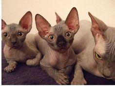 i love sphinx cats :)