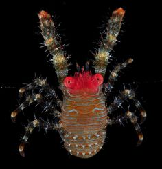 Red-faced squat-lobster from Bali by artour_a