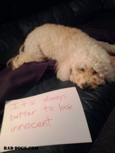 It's always better to look innocent! #dogshaming #baddogs #funny