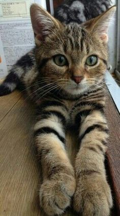 tabby cat Caring For Cat, Mancoon Kitten, - Kitten Tips, Siamese Cats Facts. Pretty Cats, Beautiful Cats, Animals Beautiful, Beautiful Pictures, Amazing Photos, Funny Animal Faces, Funny Animals, Cute Cats And Kittens, Kittens Cutest
