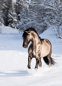 Beautiful unique colored horse walking in the deep snow. What a gorgeous shiny coat. Magico - Sorraia grullo