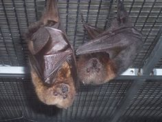 Endangered Golden Bats.     Live Batcast 2/23 and 2/24 http://www.uhaul.com/supergraphics/webcast/bat