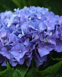 Guide to pruning hydrangeas:  prune just as the flowers begin to fade in late summer/fall (for bigleaf and oakleaf)