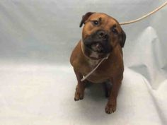 TAWNY - #A1088863 - Urgent Brooklyn - SPAYED FEMALE BROWN AM PIT BULL TER MIX,  1 Yr - OWNER SUR - EVALUATE, NO HOLD Reason MOVE2PRIVA - Intake 09/06/16 Due Out 09/09/16 - CAME IN WITH BROOKLYN #A1088864