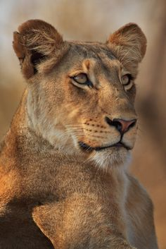 Lion by Xenedis on 500px*