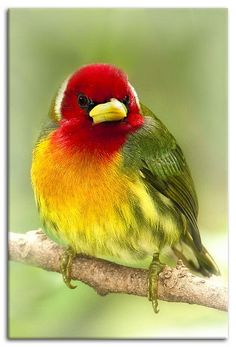 ¨Rainbow¨ red  headed barbet - Costa Rica