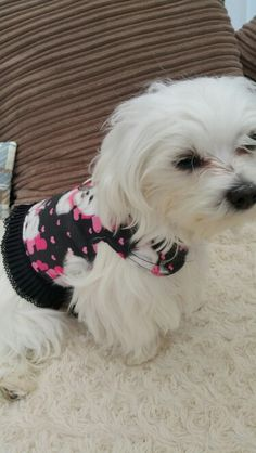 My baby #Maltese in her Maltese dress harness so pretty for sale in Pixies Posh Pets or email us at Pixiesposhpets@yahoo.co.uk