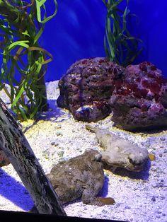 Polkadot Batfish Fish Under The Sea, Cauliflower, Aquarium, Vegetables, Outdoor, Food, Goldfish Bowl, Outdoors, Cauliflowers