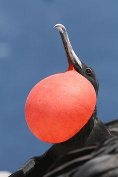 frigatebirds - Google Search