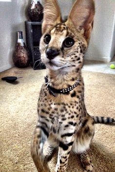 8 month old African Serval kitten.