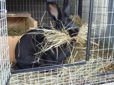 New Zealand rabbit making a nest Meat Rabbits, Raising Rabbits, New Zealand Rabbits, Rabbit Eating, Rabbit Hutches, Family Business, My Animal, Farm Animals, Animals Beautiful