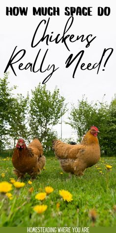 Before you start creating a chicken coop and run space, you need to understand how much space do chickens need? Chickens need their personal space. If your flock faces overcrowding problems, expect issues like bullying, feather plucking, and unhappy chickens! #RaisingChickens #Chickens Chicken Feed, Chicken Eggs, Raising Goats, Raising Backyard Chickens, Coops, Livestock, Herbal Remedies, Flocking, Homesteading