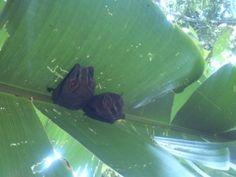 Ecolodge Costa Rica | Lapa Rios Corcovado Hotel www.laparios.com  Bats