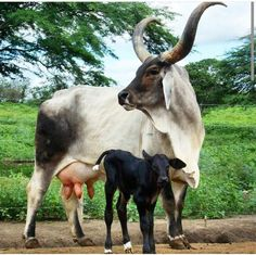Brahman / Brahma cattle are a breed of Zebu cattle first bred in the US from cattle breeds imported from India. Baby Farm Animals, Baby Cows, Animals And Pets, Cute Animals, Zebu Cattle, Pet Cows, Animals With Horns, Miniature Cows, Fluffy Cows