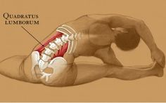 Don't Underestimate the Quadratus Lumborum >> Usually over shadowed by the more famous, psoas major, the QL is a hard working core stabilizer, and has a strong influence on respiration and even digestion. While the QL is often associated with the lower back, in reality it is a very deep abdominal muscle. Nestled in the depths of the core, it is in fact the deepest muscle of the abdomen.