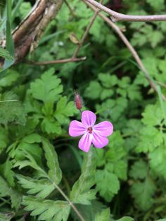 Herb Robert, Wotton-under-Edge, April