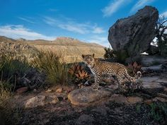 Cape Cub : A camera trap set in South Africa's Cederberg Wilderness records the steady gaze of a Cape leopard cub. Though not classified as a separate subspecies of leopard, these shy mountain cats are smaller than their savanna kin.