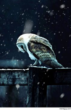 Majestic Barn Owl in the snow
