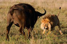 Male Lion vs Cape Buffalo