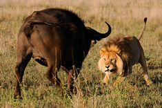 Male Lion vs Cape Buffalo