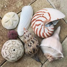 Pop inshellegence quiz! Which one of these is the shell of a CEPHALOPOD? #cephalopod #seashells #inshelligent #inshellectual #inshelligence #popquiz