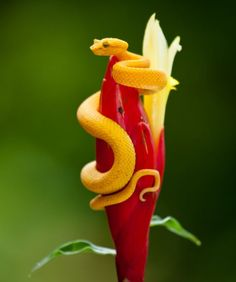 The eyelash viper (Bothriechis schlegelii), a venomous pit viper species found in Central and South America.