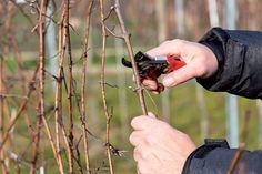 Ako a kedy rezať vinič? Nie je to až také zložité, ako by sa mohlo zdať | Záhrada.sk Grape Vines, Pergola, Magazine, Vineyard Vines, Outdoor Pergola, Magazines, Vines, Warehouse, Newspaper