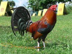 Round Head Game Fowl