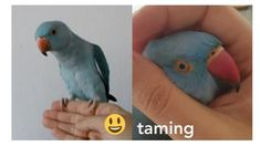 taming my Indian ringneck parrot | first 2 months together - Tesla - YouTube Bird Toys, Cat Toys, Pet Store, Parrot, Indian, 2 Months, Pets, Youtube, Parrot Bird