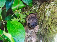Baby Sloth All Tucked Into Mommy | Cutest Paw