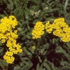 Créa'Paysage, plante vivace, Achillea tomentosa  'Aurea'
