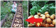 Zemiaky pestujeme už roky, ale na rozdiel od mojich rodičov, ja som tento nápad skúsil úplnou náhodou pred pár rokmi a odvtedy to inak nerobím. Zemiaky sadím v júni-júli a úrodu zberám postupne až do decembra. Zemiaky sú krásne, veľké a ani gram hnojiva či okopávanie. Odporúčam vyskúšať každému – možno ako malý experiment. Sadenie... Pumpkin, Gardening, Outdoor, Garden, Vegetable Garden, Outdoors, Pumpkins, Garten, Lawn And Garden