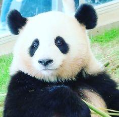 You love me?! Well I LOVE YOU TOO! ) Just reached 1 000 followers thanks for all the support . . . . . #panda #панда #팬더 #熊貓#熊猫#pandas #pandabear #pandalove #pandalife #giantpanda #instapanda #Cute_animal #lovepanda #หมแพนดา #Panda_of_insta_ #instagood #animals #лайк #animal #Cat #follow4followback #животные #видео #animal #followforfollow #follow4follow #follow_me