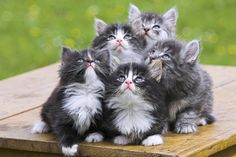 Norwegian Forest Kitties