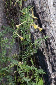 Kuvahaun tulos haulle polemonium pauciflorum